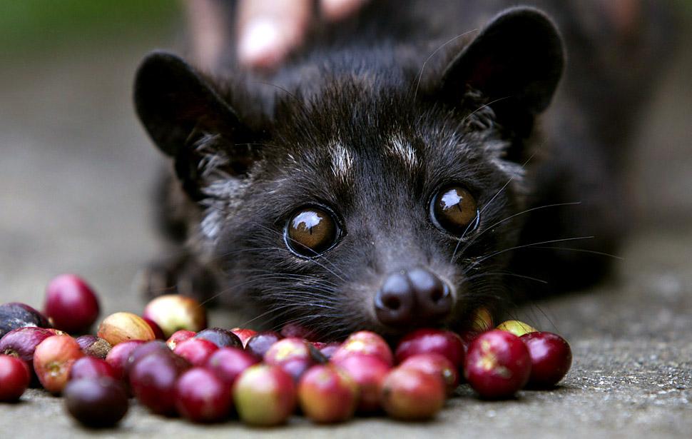 Цивета и ягоды кофе