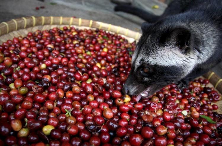 Цивета ест кофейные зерна