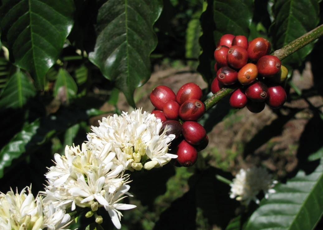 Плоды и цветы кофе