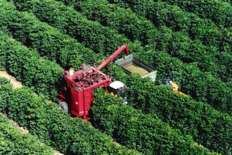 Сбор урожая кофе на плантации
