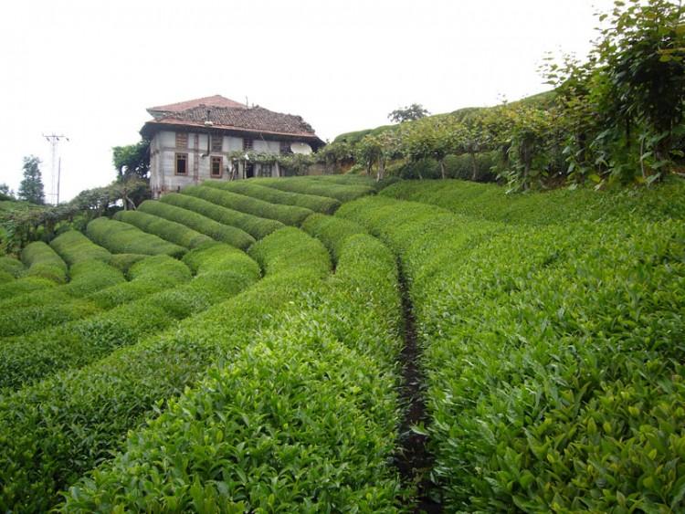 Плантация чая в Турции
