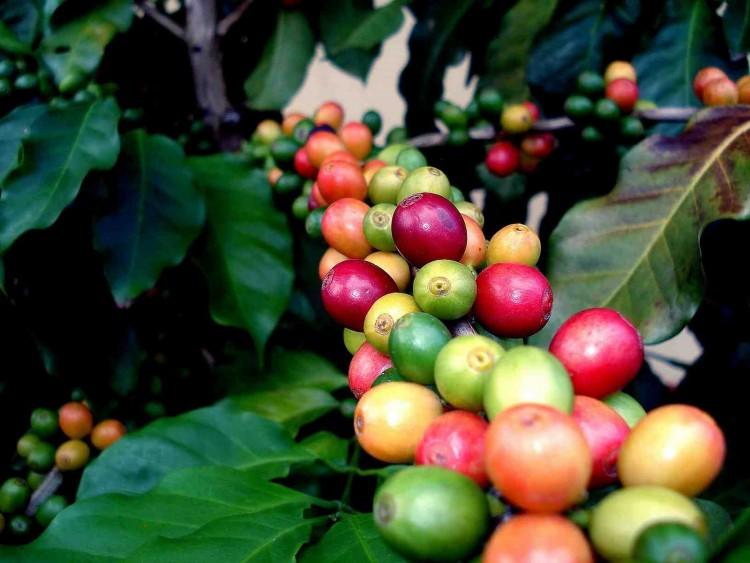 Кофе на дереве