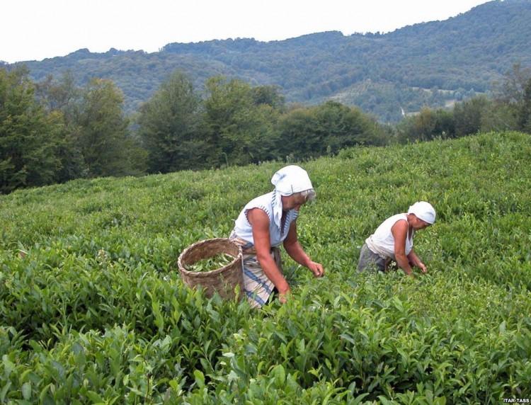 Плантация чая в Грузии