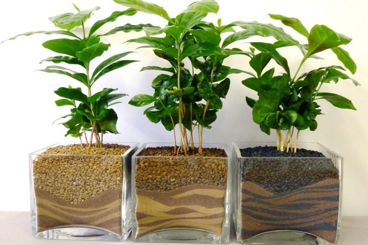 Кофейные деревца в горшках