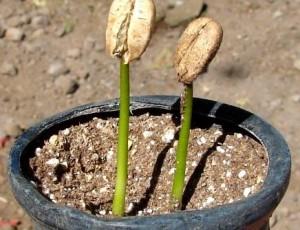 Прорастающие семена кофе