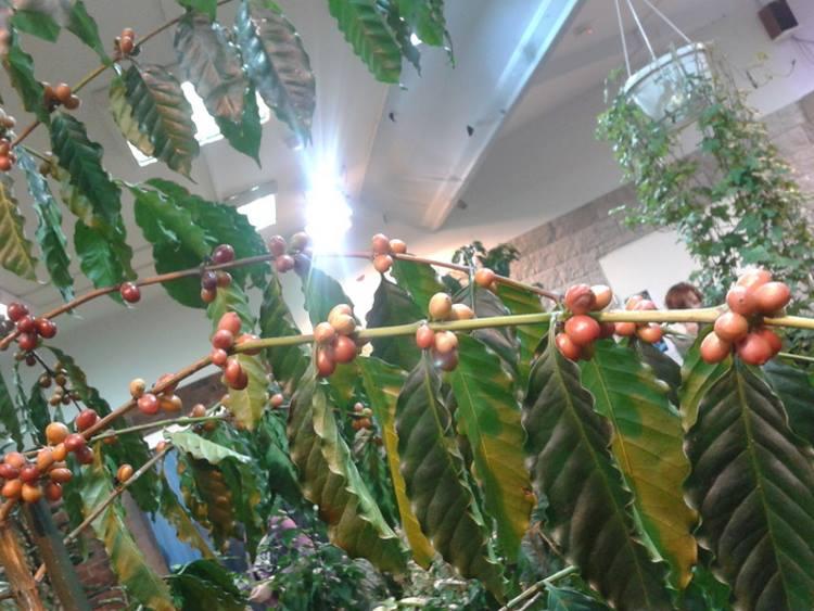 Плоды на кофейном дереве