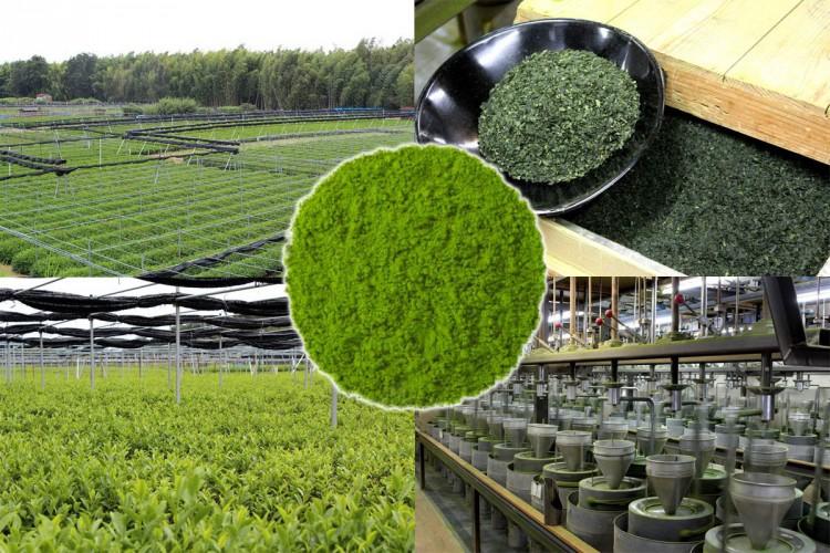 Производство чая маття