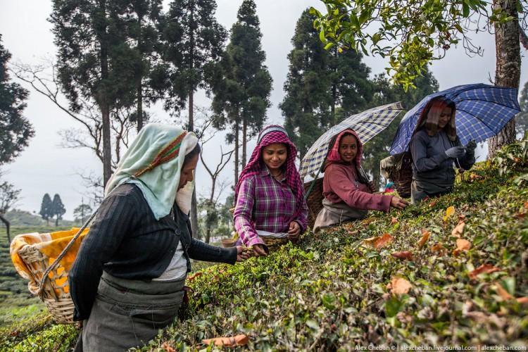 Осенний сбор чая