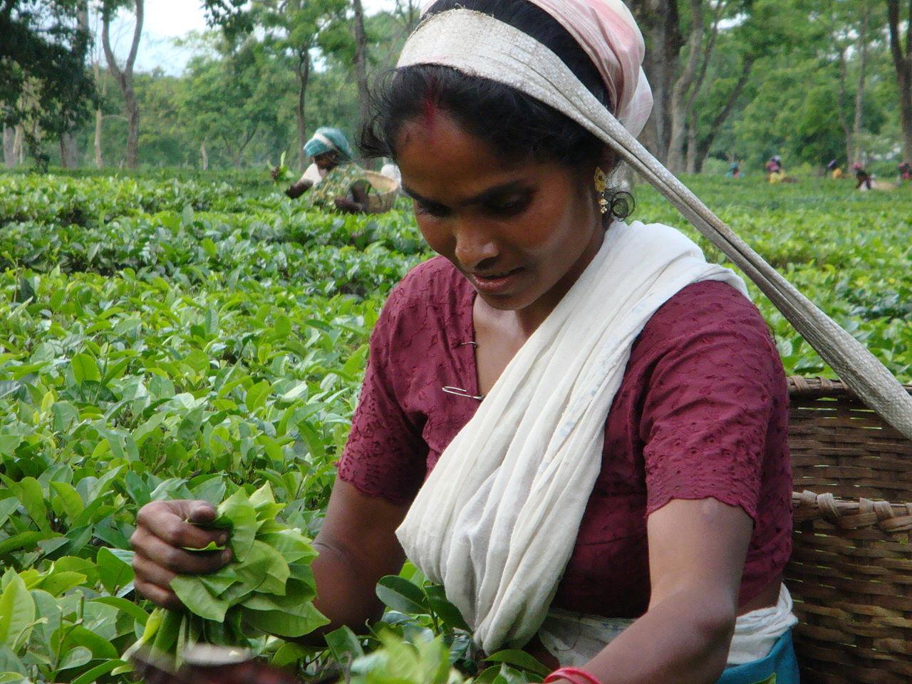 индия родина чая