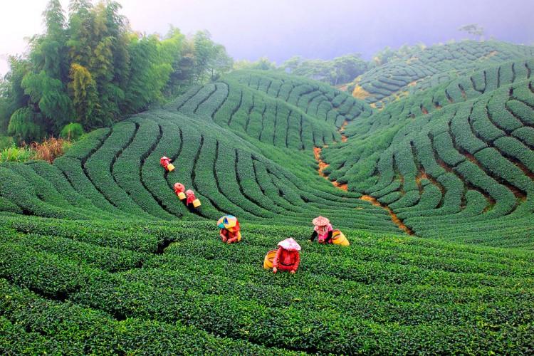Чайные плантации на Тайване