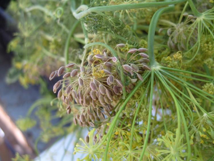 Зонтики укропа с семенами