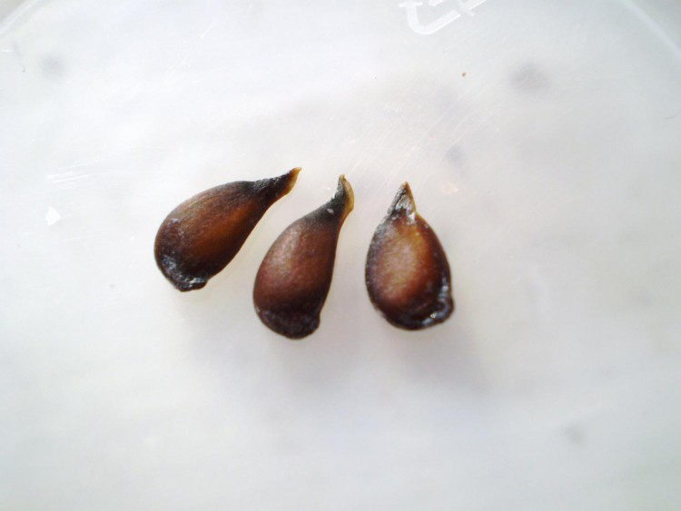 Семена груши