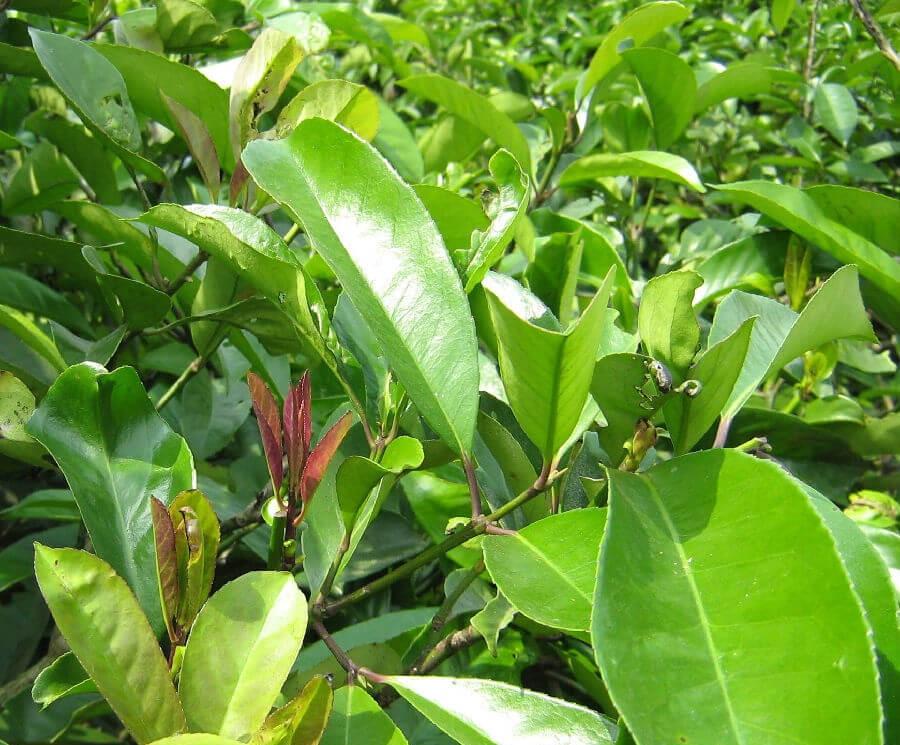 Растение кудин